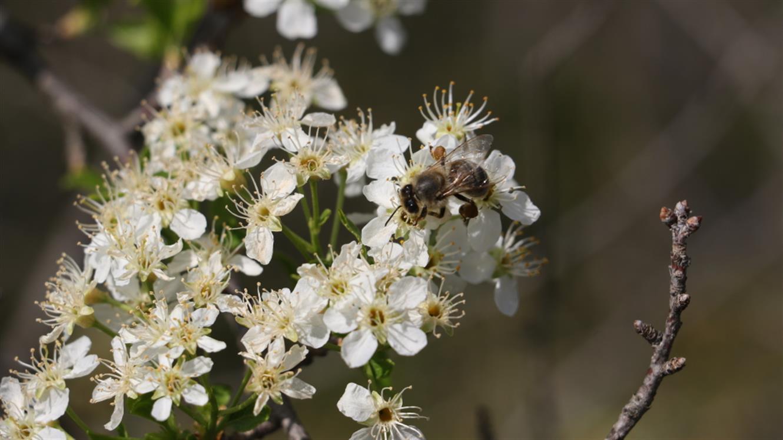 Avtohtona medovita drevesa v mestu
