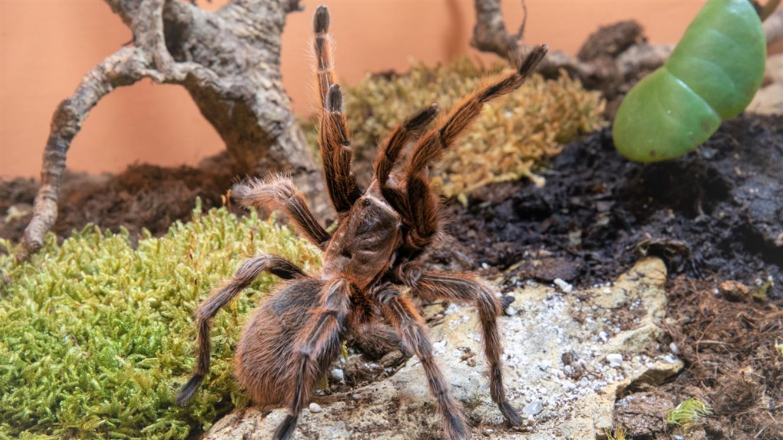 Razstava pajkov in škorpijonov: Spoznajte čudovitega čilskega ptičjega pajka