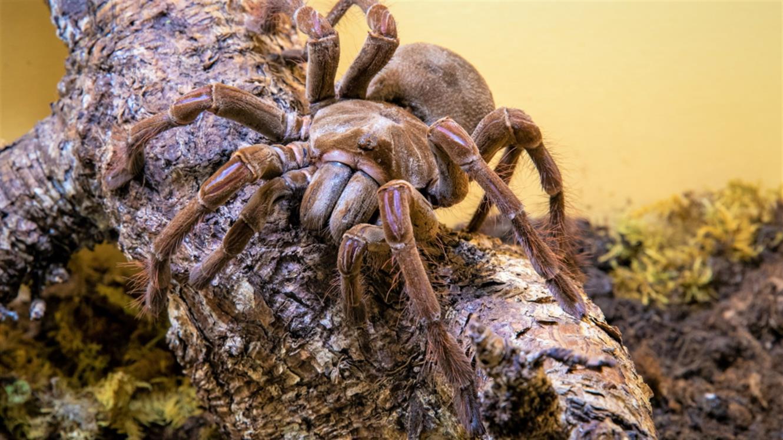Razstava pajkov in škorpijonov: Orjaški ptičji pajek