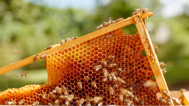 10 let urbanega čebelarstva v Cankarjevem domu - PRESTAVLJENO